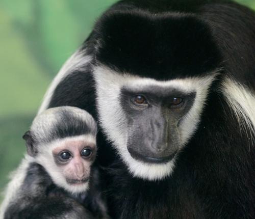 Colobus Monkey Baby and Mom