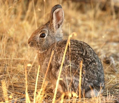 Cottontail rabbit by the Forest Service