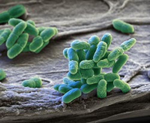 البكتيريا الزرقاء