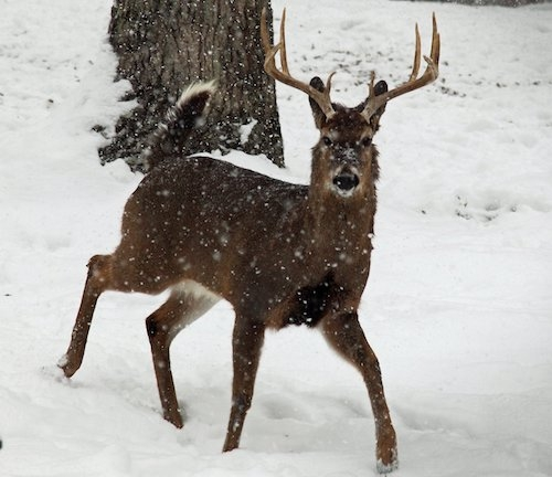 Whitetail deer in falling snow