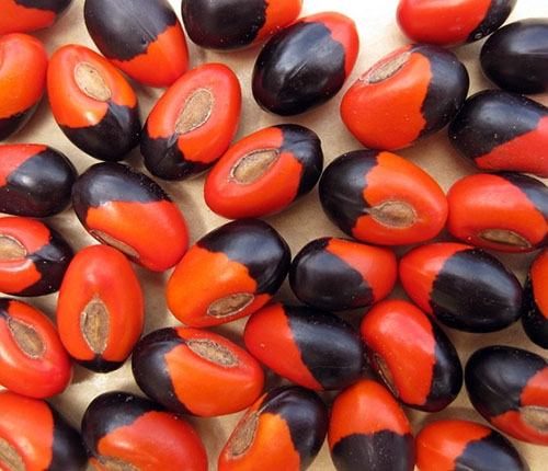 Faceae seeds from Madagascar are red and black
