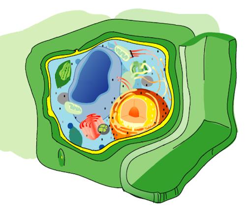 cellula eucariotica