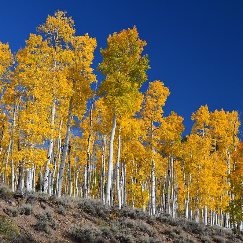 Pando, an aspen stand, image links to Top Questions page