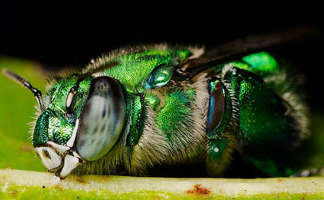 Female orchid bee