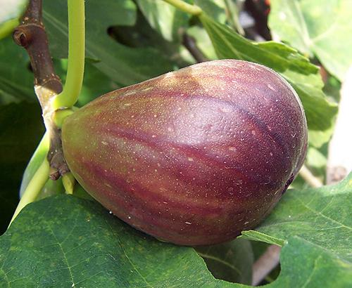 A fig fruit