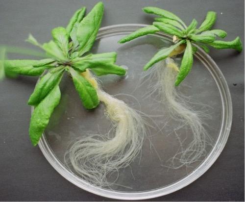 Arabidopsis roots Gaxiola lab