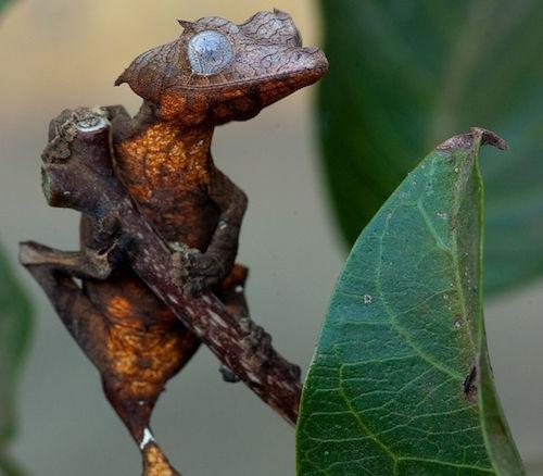 Los gecos de cola de hoja