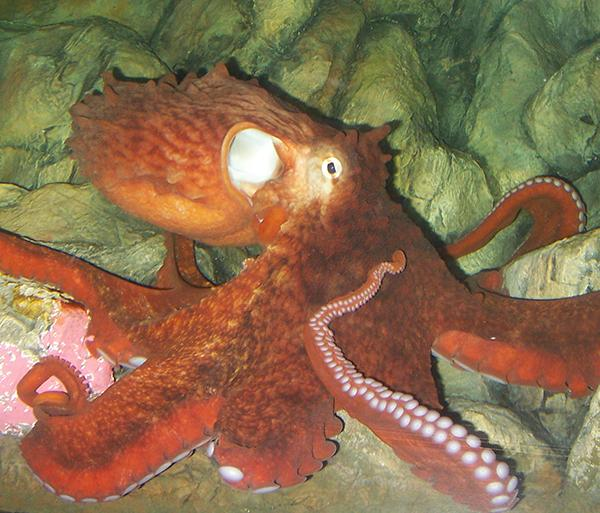 Real Very Cheap For Sale Essential Top - Leering Octopi -E by VIDA VIDA VH9xGZFyBj