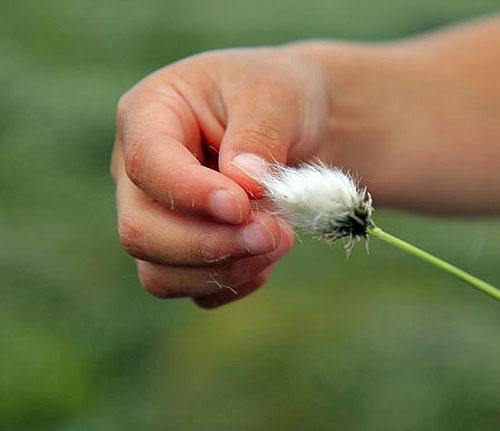Main touchant la fleur cotonneuse