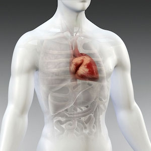 An illustration of a heart in the body