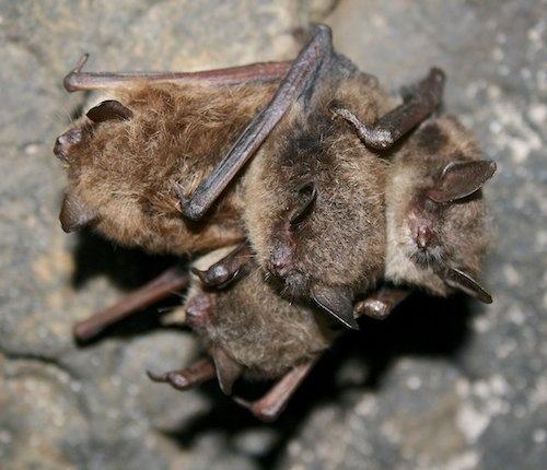 Three hibernating bats huddled together.