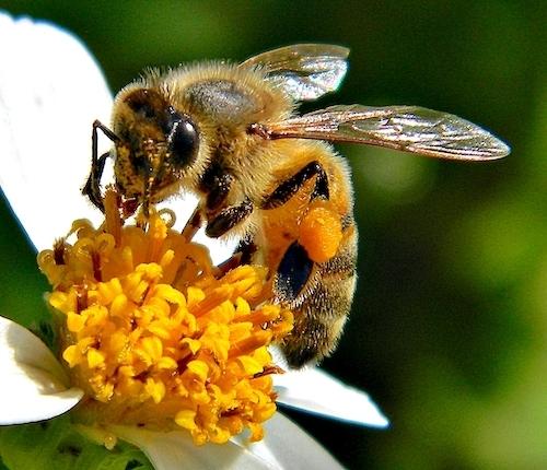 Abeja melífera colectando néctar de una flor.