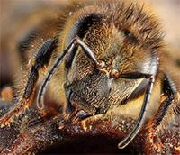 Honey bee face