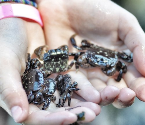 Human hands holding small crabs