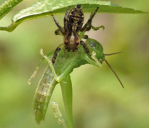 Jumping spider catching a grasshopper
