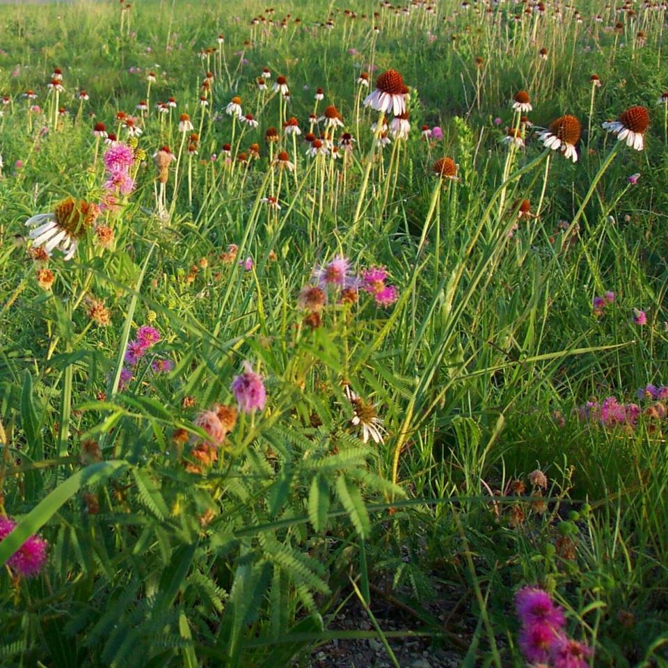 Flores da pradaria