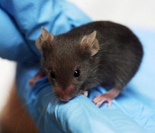 ratón de laboratorio marrón