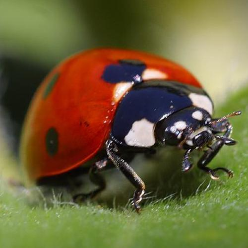 A lady bug, image links to Top Questions page