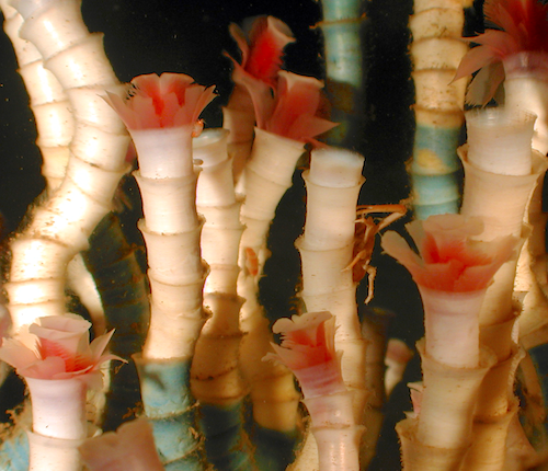 Antarctic tube worms