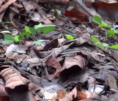 Leafcutter ant trail