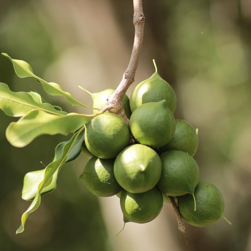 Macadamia nut image, links to Top Question page