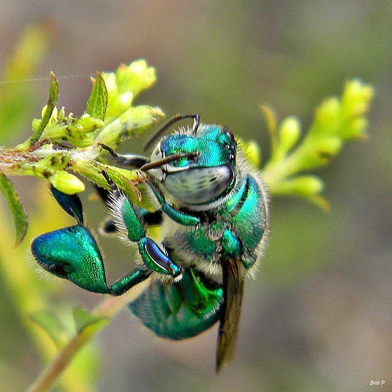 machos de las abejas de las orquídeas