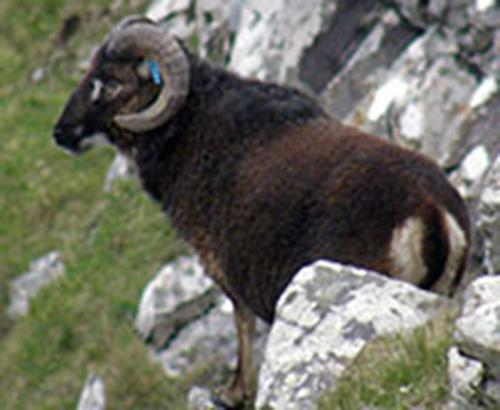 A male St. Kilda soay sheep