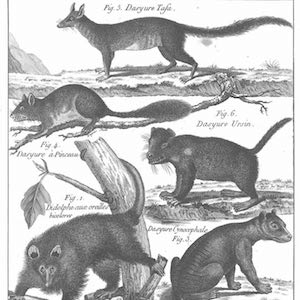"ood engraving depicting a number of animals, including ""Dasyure Cynocephale"""