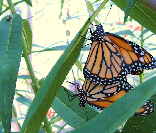A mating pair of monarch butterflies