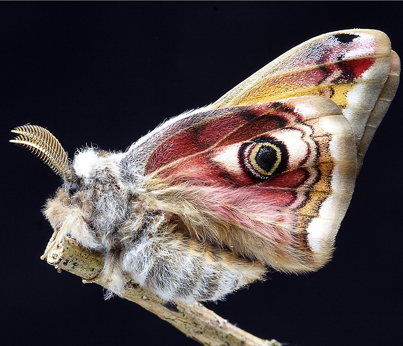 Moth with complex antennae