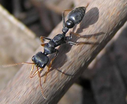 Myrmecia ant