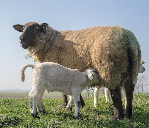 Newborn sheep