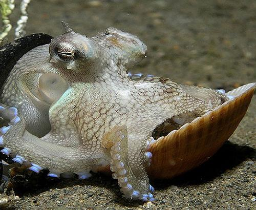 An octopus holding a shell