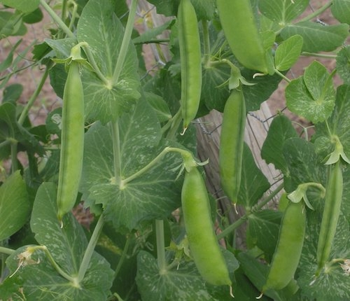 Common pea plant