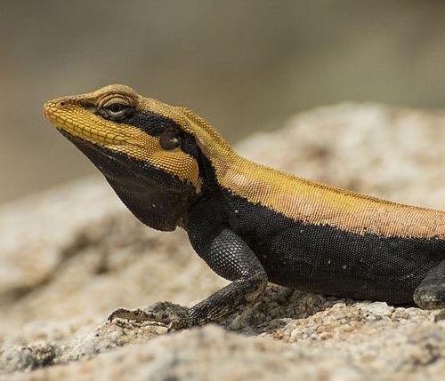 Agama lizard basking