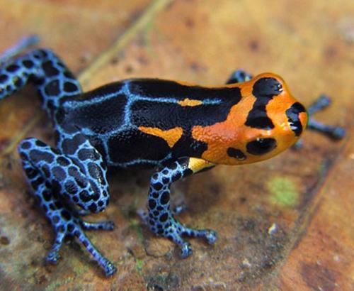Peruvian mimic poison frog