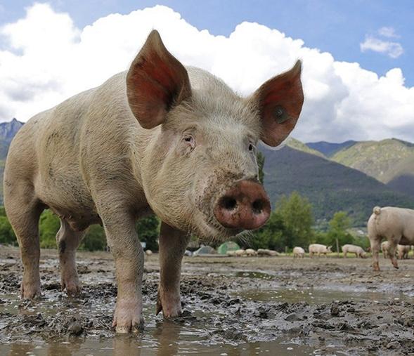 Close up of a pig on a pig farm