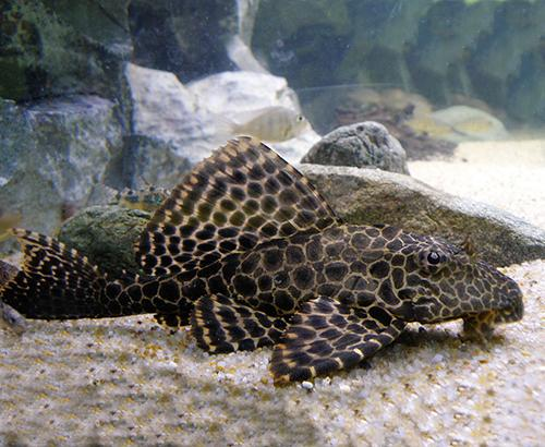 A pleco fish
