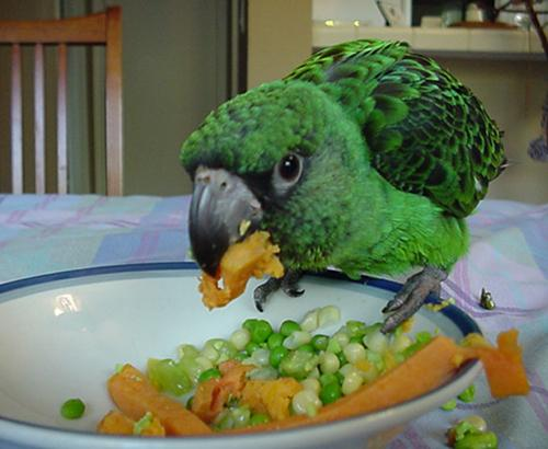 A juvenile parrot eating veggies