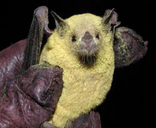 A bat covered with pollen