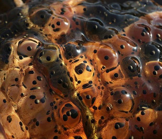 Redlegged frog eggs in someone's hand