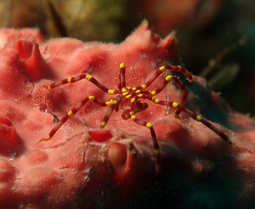 Red sea spider with yellow coloration around joints