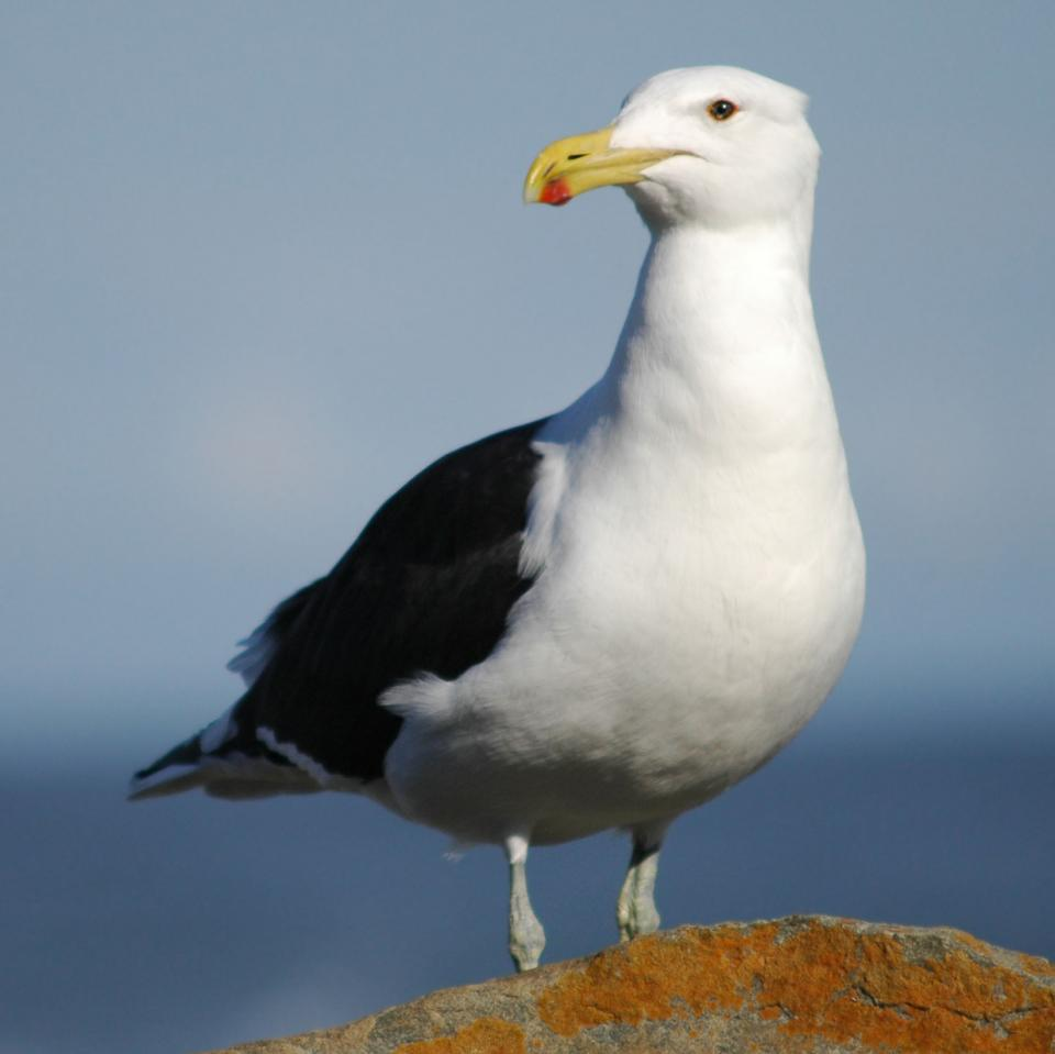 A seagull, image links to Top Question page