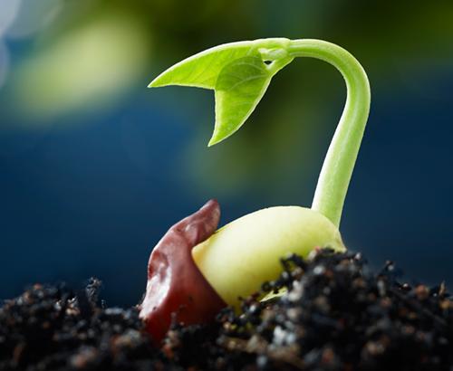 A germinating seedling