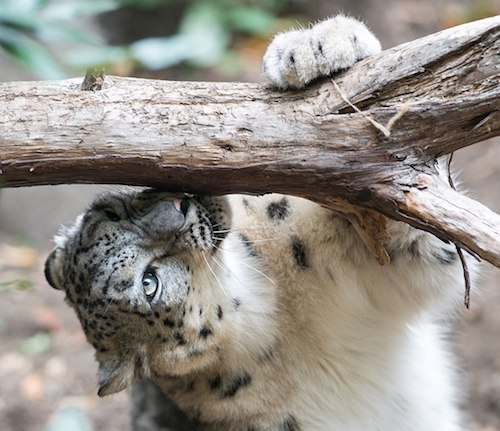 Snow leopard smelling branch