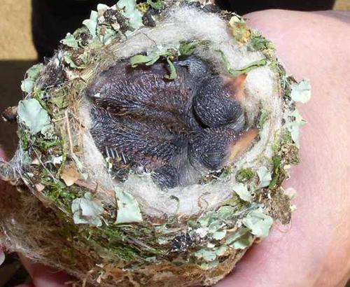 Sinek kuşu yuvası