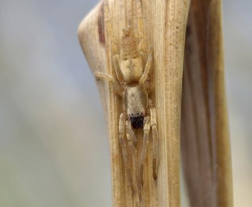 Tan camouflaged spider