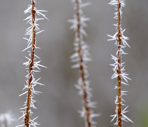 sharp frost on plant stem