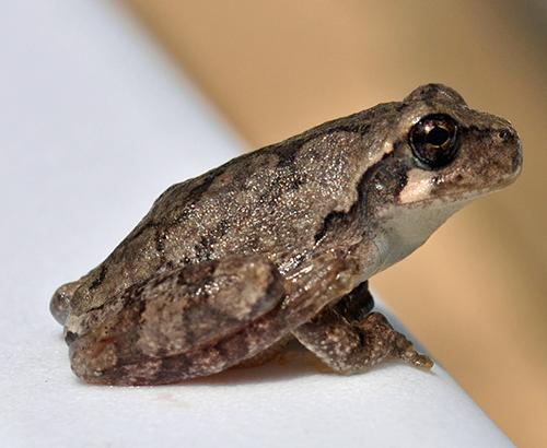 Spring peeper frog