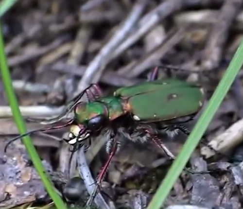 Tiger beetle hunting
